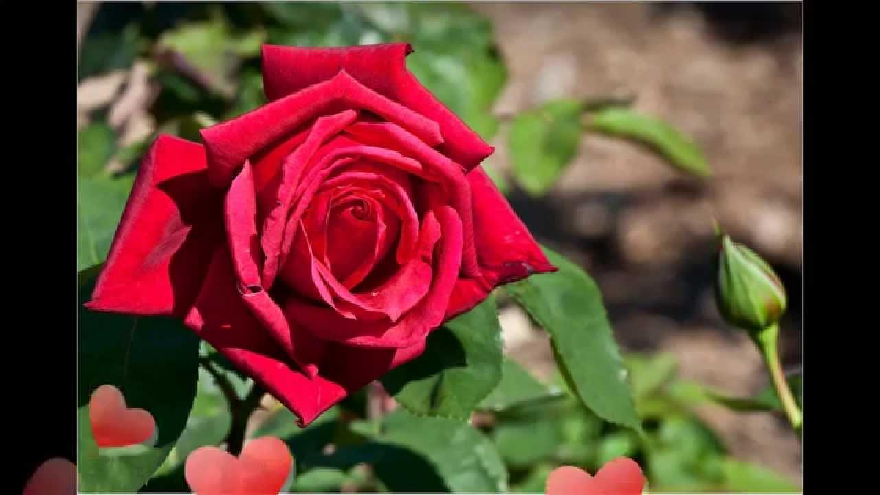 Rose Flower   Rose Garden   Roses   Red Rose   Lovely Flower   YouTube