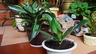 Мои новые растения.  Драцена и фикус!  Как сделать перевалку купленным растениям?!