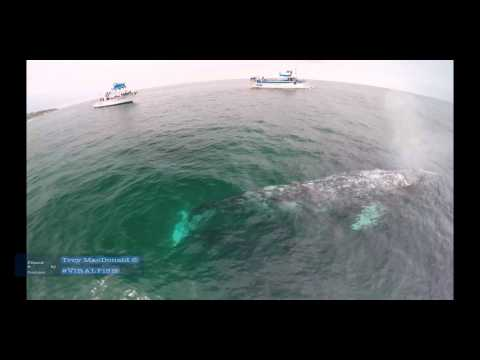 4k gopro hero 4 black whale watching drone video