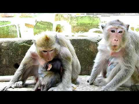 daliena-become-brain-death-cos-head-trauma-by-dolly-attack-hard-stone-|-poor-baby-cry,monkey-videos