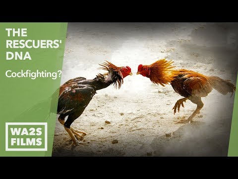 Cock Farmer Tethers Roosters & Confronts Animal Abuse Investigator - The Rescuers' DNA