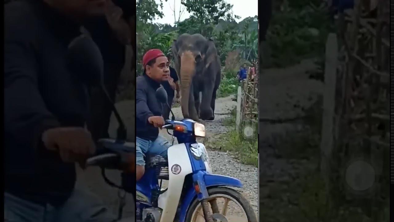 Pemindahan Gajah Liar Di Kg Air Kayan Tanah Merah Kelantan Part 2
