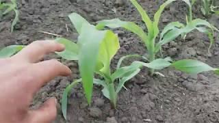 23052018 Робота ротаційної борони по кукурудзі Ефект гирбіциду
