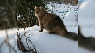 Сибирская кошка на прогулке