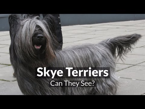 Skye Terriers - Can They See?