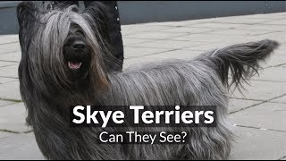 Skye Terriers  Can They See?
