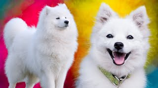 Samoyed Vs Japanese Spitz  Which Breed Is Best