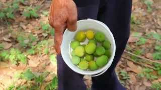 Sustainable harvesting of  cagaita - Cerratinga