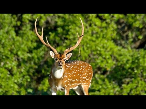 GIANT *AXIS DEER* Catch Clean and Cook (Spotted Deer)