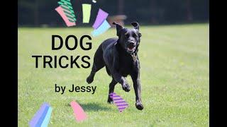 DOG TRICKS by labrador Jessy