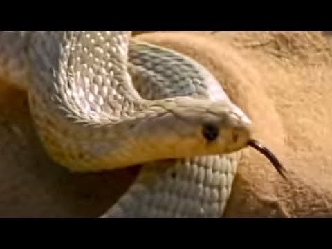 Cape Cobra hunting technique - Serpent - BBC Animals