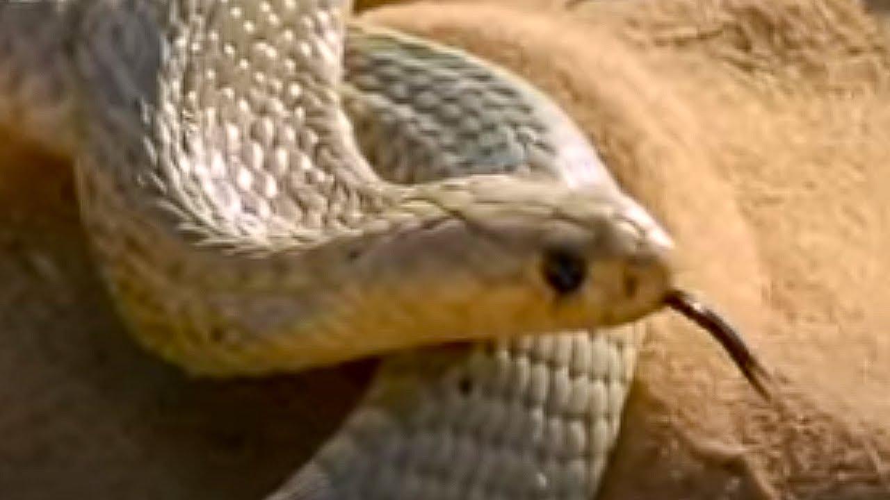 Cape Cobra hunting technique - Serpent - BBC Animals