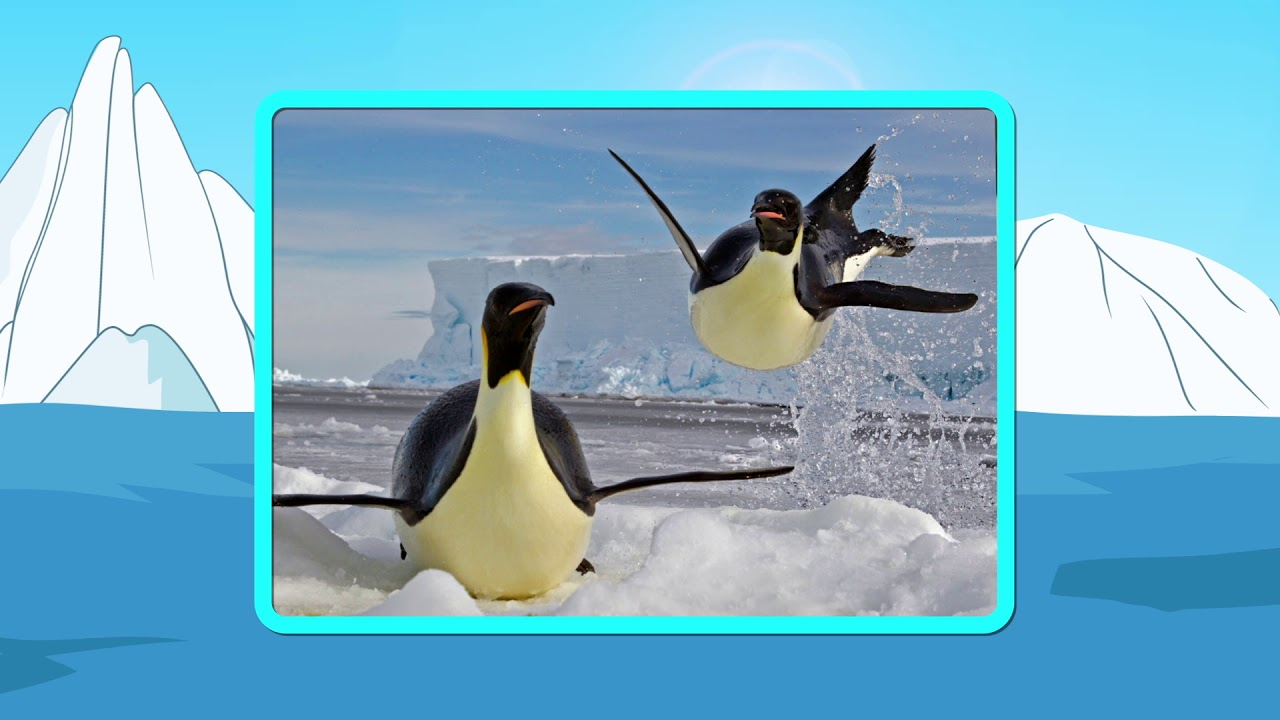 Los Pingüinos - anatomía - YouTube