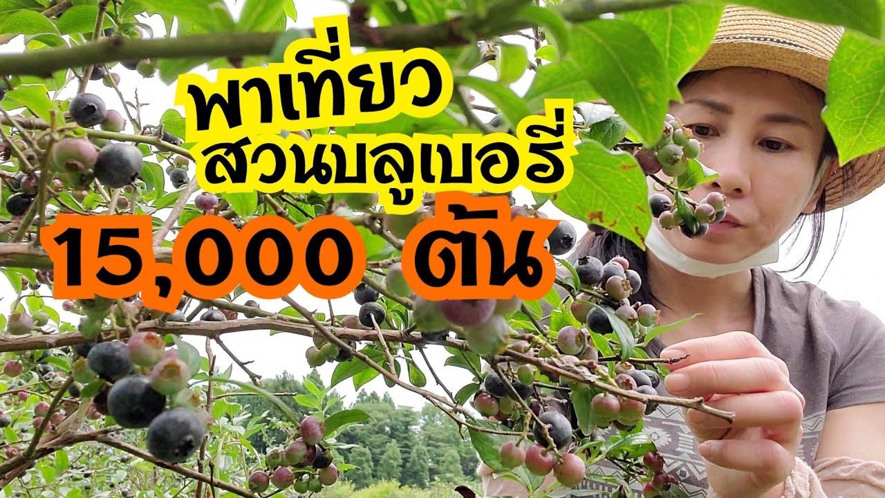 เก็บบลูเบอรี่ที่ญี่ปุ่น สวนบลูเบอรี่ 15,000 ต้น เก็บกินสดๆจากต้น
