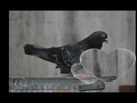 Roller Pigeon Look And Style