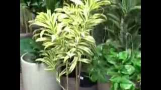 Caring for Dracaena reflexa