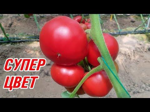Обалденный красный цвет томата SVR 8544 F1 (27-05-2018)