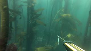 Spearfishing Hottentot Cape Town 2