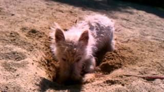 Westie Puppy Plays In Sand- A West Highland White Terrier