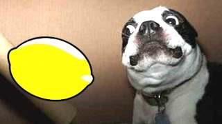 Most Funny Dogs Reacting To Lemons Compilation 2014 [new]