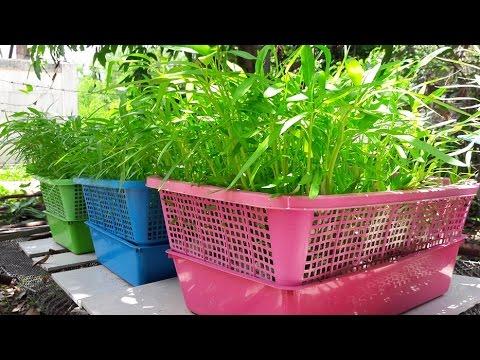 ปลูกผักบุ้งในตะกร้า 2/3 (การเตรียมน้ำสำหรับปลูก) How to hydroponic