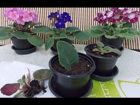 growing african violets - African Violets