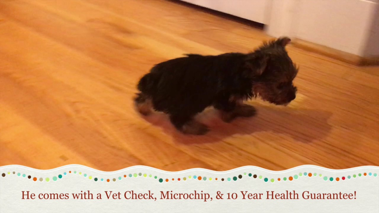 Teacup Yorkie Puppies For Sale In Greensboro Nc Youtube