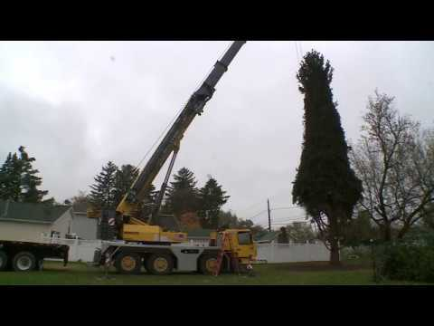 Chicago's 2017 Christmas tree chopped down in Grayslake