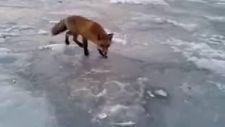 Рыбак из Владивостока делится корюшкой с лисицей