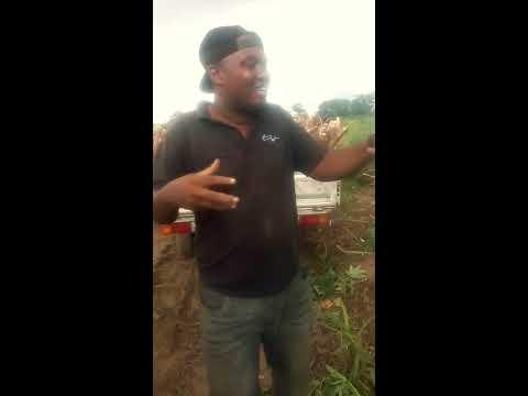 Good Sales of Cassava tubers