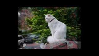 Ангорская кошка. Красивая,  изящная пушистая кошка