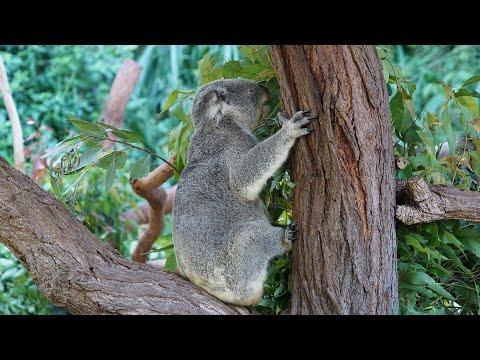 17 Kuranda Koala Gardens Cairns Queensland Australia