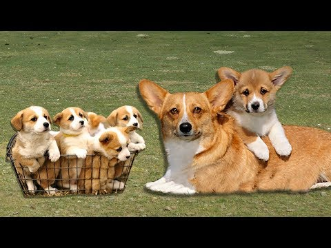 Pembroke Welch Corgi dog gives birth to cute puppies- Cute puppies playing with mom