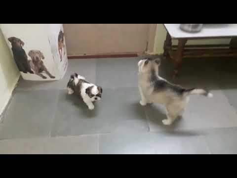 Seberian Husky Dog For Sale In Pune Youtube