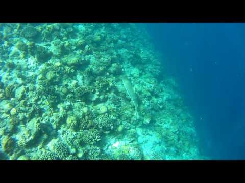 Black tip reef shark, , Maldives Veligandu