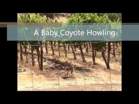 Baby Coyote Howling in the Vineyard - YouTube