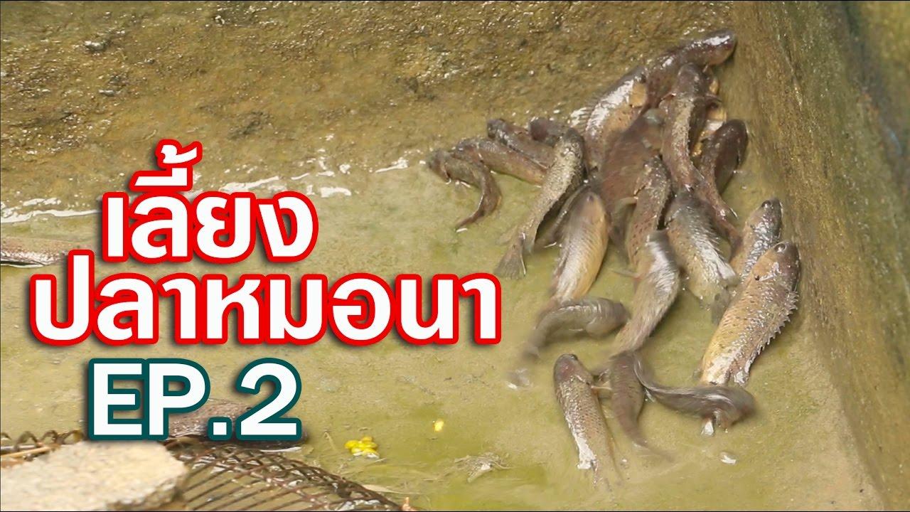 เลี้ยงปลาหมอนา ในบ่อปูน EP.2 Climbing perch キノボリウオ #อุทยานบ้านสวน
