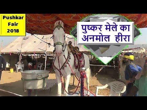 Pushkar Fair Mela Horse Market 2018 : Indian White Nukra Stallion In Ghoda Bazar
