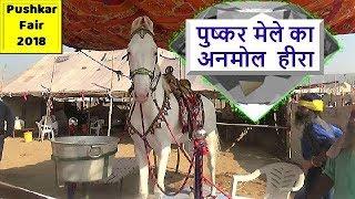 Heera - Indian White Nukra Stallion In Ghoda Bazar From chatha stud farm : Pushkar Fair 2018