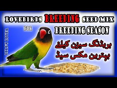 best lovebirds breeding seed in winter season. Video No.62
