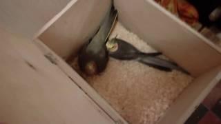 Разведение корелл в квартире: ставим гнездо!