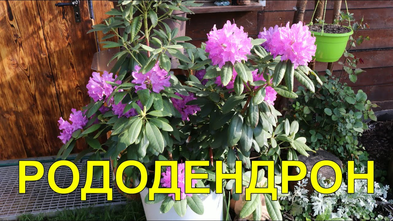 Цветы.РОДОДЕНДРОН.Огород Баварский.