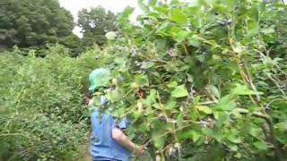 pick your own blueberries norfolk county franklin ma .wmv