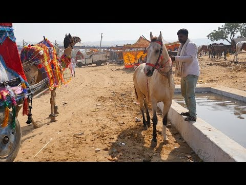 Horse Funny Video fearing from Camels | Animals Funny Videos | Village Life | Ghoda घोड़ा thumbnail