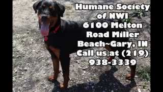 Adopt Bliss,a Rottweiler, From The Humane Society Of Northwest Indiana Gary
