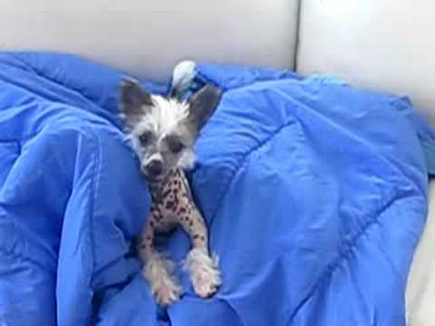 Chinese crested puppy singing