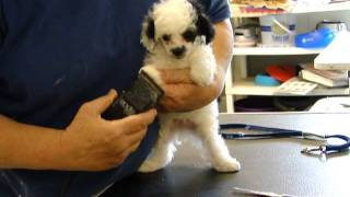 Poodle Boy Spud Getting A Puppy Groom