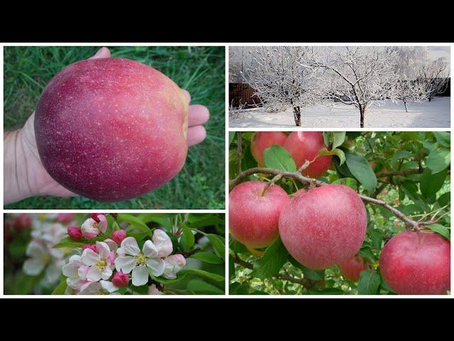 Яблоня-парадокс Граф Эззо: гигантские плоды на низких деревьях!Этот немец не боится русских морозов!