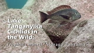 "Lake Tanganyika Cichlids in the Wild: Tropheus moorii ""Murago Tanzania"" (HD 1080p)"
