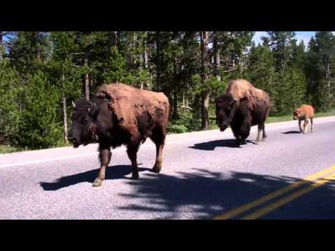 Yellowstone Bison Road Blocks